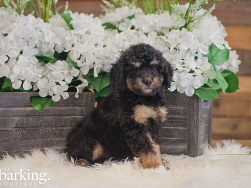 Grand Rapids F1B Mini Bernedoodle Dog Adoption Grand Rapids, MI