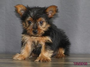 Available Puppies for Sale - Heartland Pets in Erie