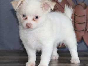 Available Puppies for Sale - Heartland Pets in Erie, Pennsylvania