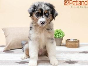 Available Puppies - Petland Florida