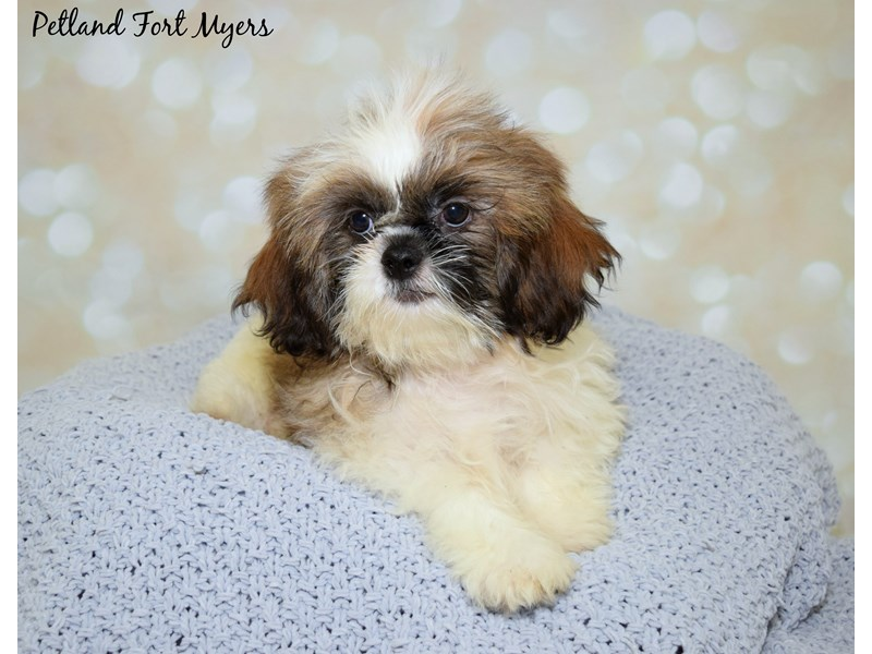 Shih Tzu Dog Brown White Id2359286 Located At Petland Fort Myers