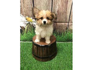 See Our Puppies For Sale | Come visit Petland St  Louis, Missouri!