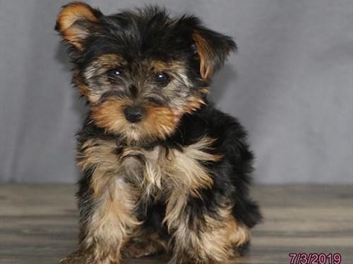 Available Puppies - Petland Terre Haute 812-234-1444