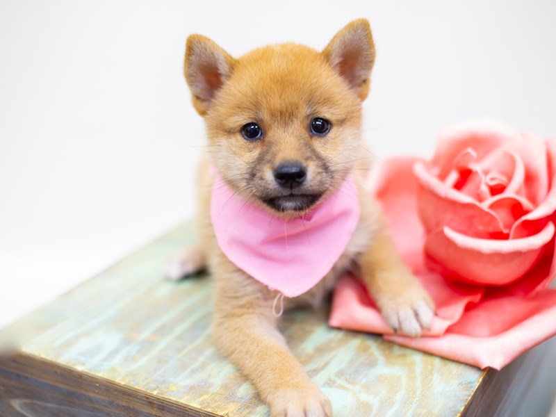 Shiba Inu-DOG-Female-Sesame-2398996