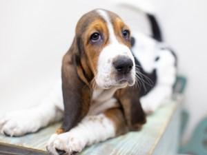 Dogs & Puppies for Sale in Wichita, Kansas - Petland Wichita Pet Store