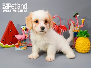Available Puppies | Petland West Wichita