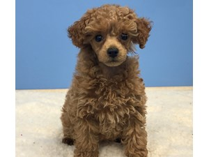 Puppies for Sale at Petland Hoffman Estates, Illinois