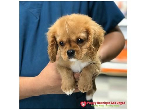 Available Puppies - Puppy Boutique Las Vegas