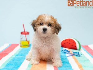 Available Puppies - Petland Florida