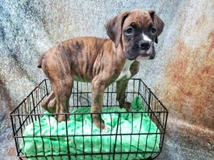 Miniature Boxers For Sale In Texas