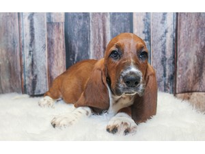 Bear Hounds For Sale In Wisconsin