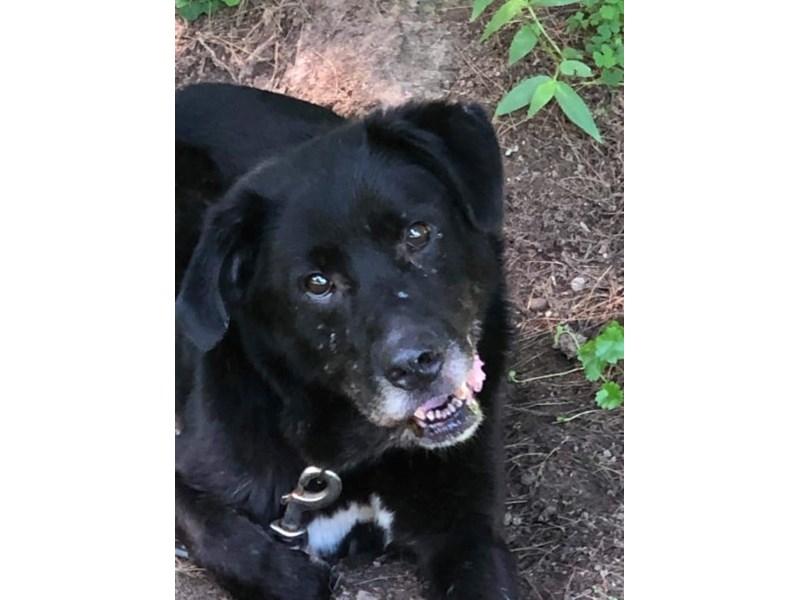 AAP Lab Mix-DOG-Male-Black-2370299-img2