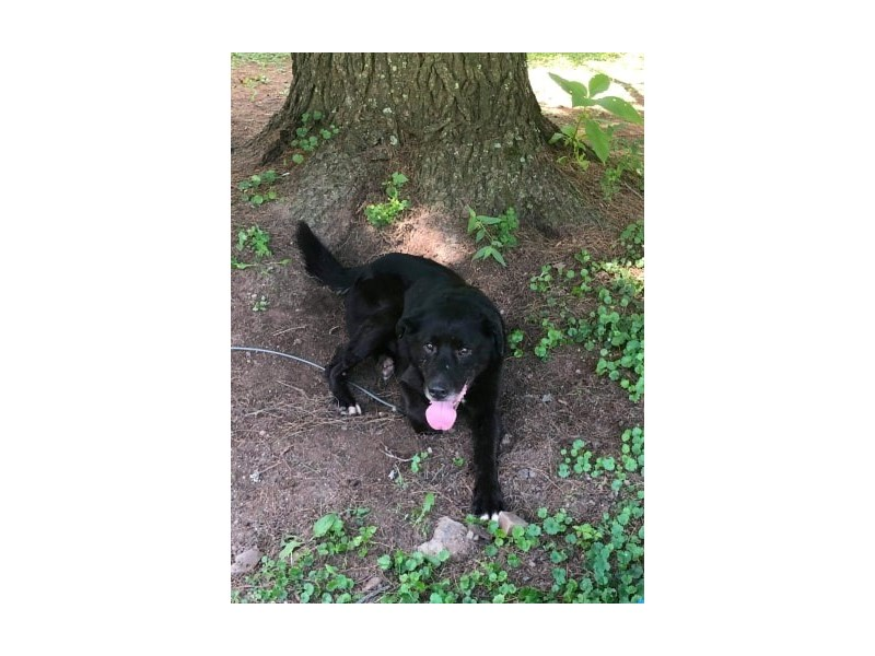 AAP Lab Mix-DOG-Male-Black-2370299-img3