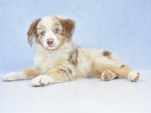 Puppies for Sale | Petland Jacksonville | Jacksonville, Florida