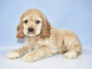 Puppies for Sale | Petland Jacksonville | Jacksonville