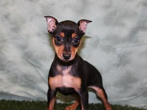 Dogs and Puppies for Sale - Petland Dalton, Georgia Pet Store