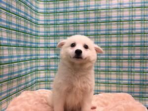 Dogs and Puppies For Sale - Petland San Antonio, Texas