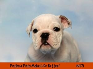 Dogs & Puppies for Sale - Petland Chicago Ridge, Illinois Pet Store