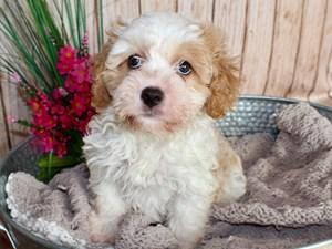 Puppies for Sale | Petland Cicero | Syracuse, New York