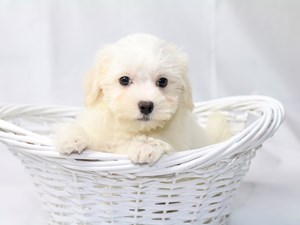 Puppies for Sale - Visit My Next Puppy in Chantilly