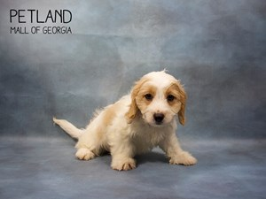 Dogs & Puppies For Sale - Petland Mall of Georgia