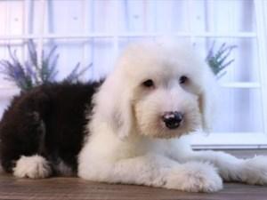 Dogs & Puppies for Sale - Petland Fairfield & Hamilton, Ohio