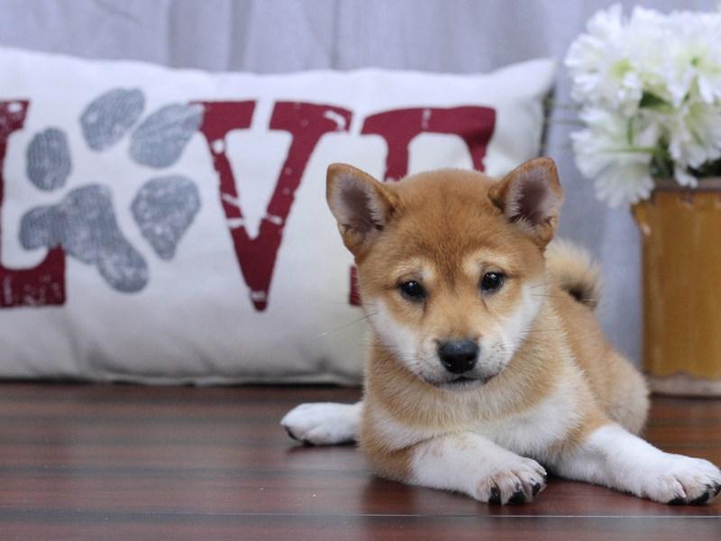 Shiba Inu DOG RED SESAME ID:2408895 Located at Petland ...