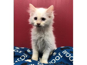 Kittens for Sale at Petland Hoffman Estates, Illinois
