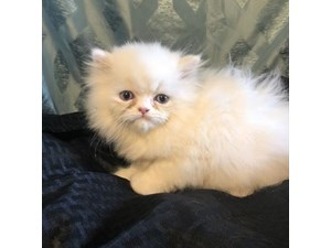 Kittens & Cats Available - Petland Waterford Lakes, Florida