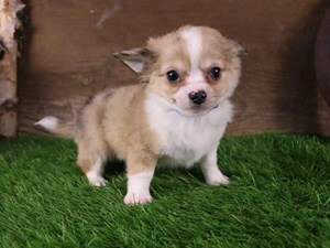 Available Puppies for Sale - Petland Henderson, Nevada