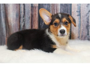Puppies and Dogs for Sale - Petland Round Lake Beach, Illinois
