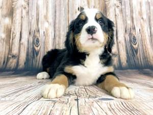 Puppies for Sale & Adoption - Visit Petland Dayton, Ohio!