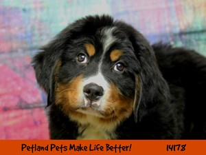 Dogs & Puppies for Sale - Petland Chicago Ridge, Illinois Pet Store