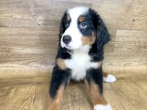 Puppies for Sale - Petland Stores in Athens, Ohio
