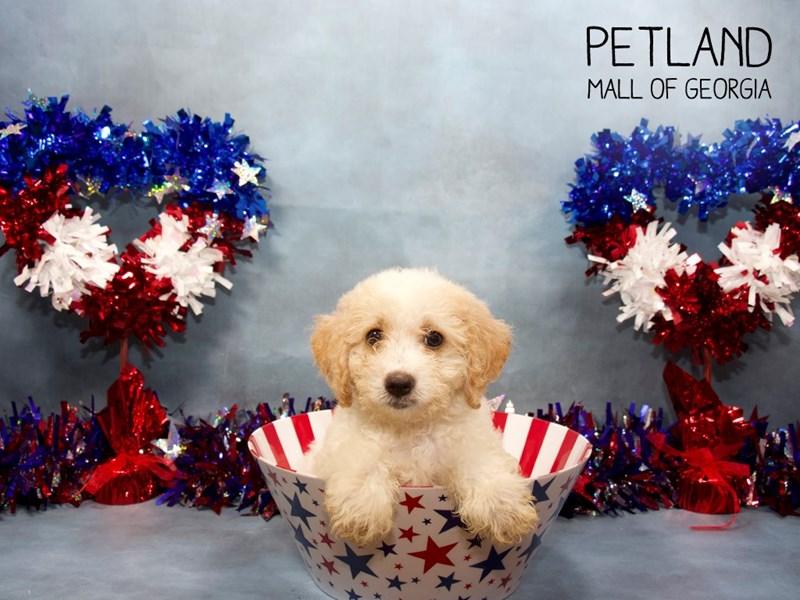 F2 MINI GOLDENDOODLE DOG APRICOT WHITE ID:2414469 Located at Petland