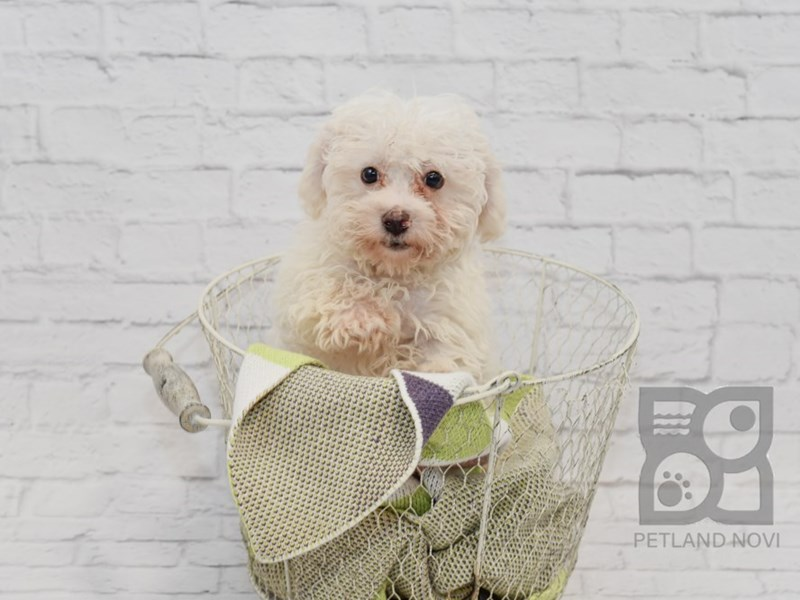 Bichon Poo DOG White / Cream ID:2420962 Located at Petland Novi