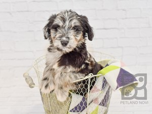 Dogs and Puppies for Sale - Petland Novi, Michigan Puppy Store