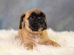 Buy beautiful puppies in Pickerington, Ohio