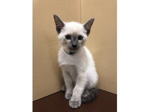 Available Kittens for Sale - Petland Henderson, Nevada