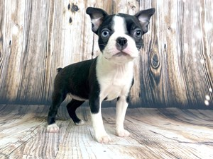 Puppies for Sale & Adoption - Visit Petland Dayton, Ohio!