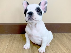 Dogs & Puppies for Sale - Petland in Grove City & Columbus