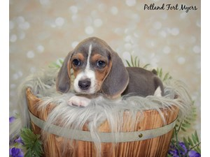 Dogs & Puppies for Sale | Visit Petland Fort Myers Today