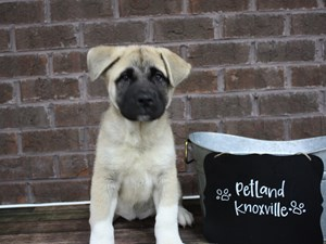 Dogs and Puppies For Sale – Petland Knoxville Pet Store, TN