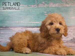 Dogs & Puppies For Sale - Petland Summerville, South Carolina