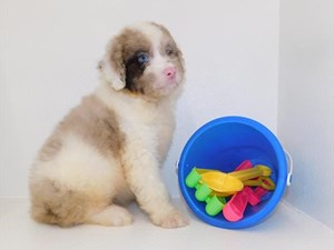 Petland Puppies for Sale in Columbus, Ohio | Puppies for