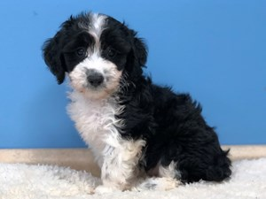 Puppies for Sale - Petland Batavia, Illinois Pet Store