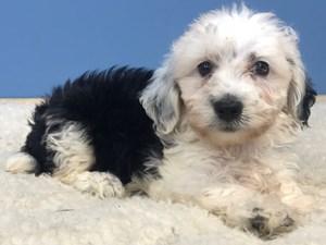 Puppies for Sale - Visit Petland Bolingbrook, Illinois!