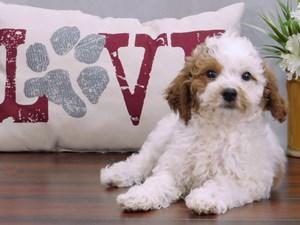 Cavapoo-DOG-Female-Blenheim-2421244-Petland Lewis Center