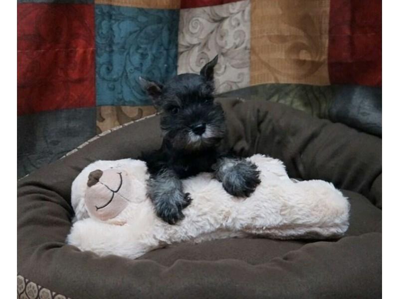 Miniature Schnauzer-DOG-Female-Salt and Pepper-2429091