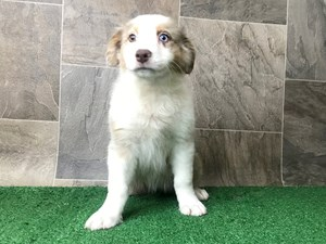 Dogs & Puppies for Sale - Petland Chillicothe, Ross County, OH